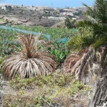 Denuncian ante el Cabildo de Gran Canaria que en El Cortijo - Los Dolores (Firgas) se han envenenado varias palmeras canarias