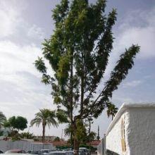 La manía taladora de árboles llega a Playa del Inglés, en el sur grancanario